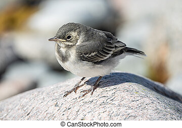 White wagtail - Baby White wagtail