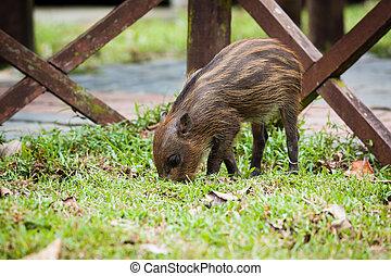 Baby wild boar digging grass