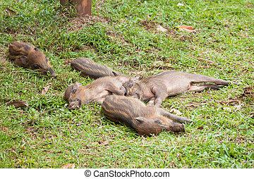 Baby wild boars sleeping on grass