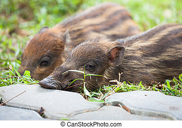 Baby wild boars sleeping on grass