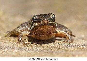 Baby Wood Frog (Rana sylvatica) in a pond
