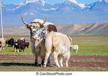 Baby yak drinking milk