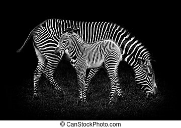 Baby Zebra and Mother Against Black Background