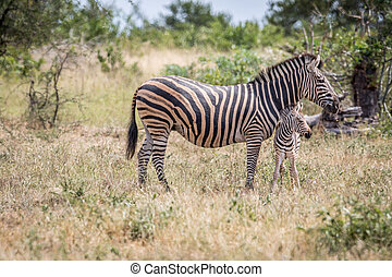 Baby Zebra bonding with his mother.