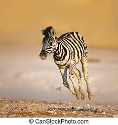 Baby zebra running - Close-up of a young zebra running on...