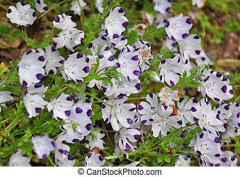 babyblau, augenpaar, (nemophila, maculata)