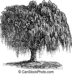 babylon, willow, eller, salix, babylonica, vinhøst, gravering