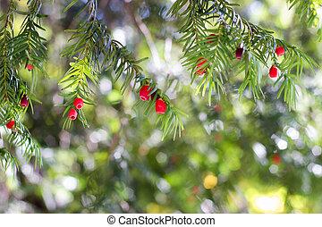 baccata), árbol, (taxus, tejo, europeo