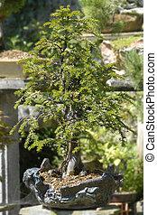 baccata, bonsai, taxus