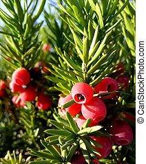 baccata, taxus