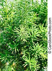 baccata), (taxus, hojas, fondo verde, tejo