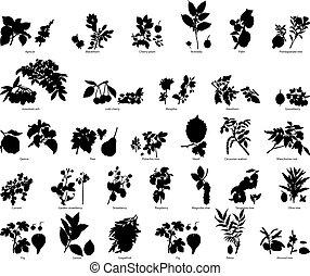 bacche, e, fiori, silhouette
