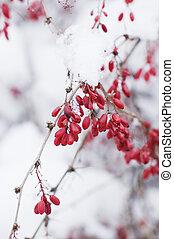 bacche rosse, su, uno, neve, ramo