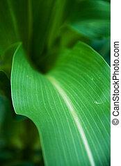 bacground., nagniotek, szczegół, młody, zielone pole, rolniczy, liście