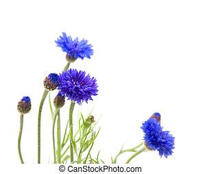 bachelor's, boutonniere, tło, (centaurea, flower;,...