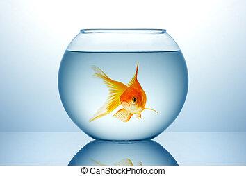bacia peixes, com, peixe ouro