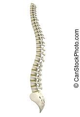 Back bone - Digital illustration of back bone in colour...