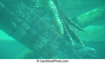 Back Claw And Tail Of Saltwater Crocodile - Handheld, close ...