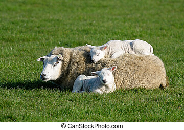 back., corderos, dos, acostado, madres