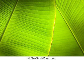 Back light in overlapping green banana leaves.