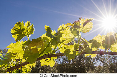 Back lit grapevine