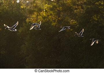 Back-Lit Mallards in flight