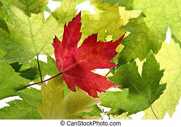 Back Lit Maple Tree Leaves