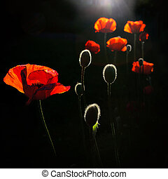 back lit poppy buds - poppy flowers lit by the sun from...