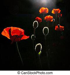 back lit poppy buds