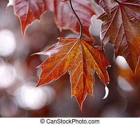 A back lit red and yellow maple leaf shot close up.