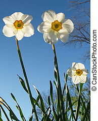 Back-lit Spring Jonquils - tall jonquils (Narcissus...