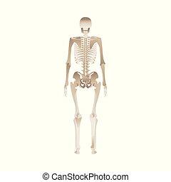 back, menselijk skelet