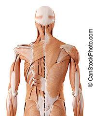 back, menselijk