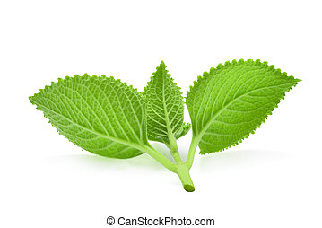 back of green leaves (Country Borage, Indian Borage, Coleus amboinicus Lour( Plectranthus amboinicus (Lour.)) isolate on white background.