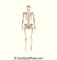 Back of the human skeleton