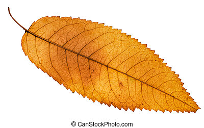 back side of autumn yellow leaf of ash tree isolated on...