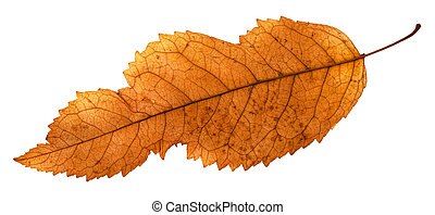 back side of broken leaf of ash tree isolated on white...