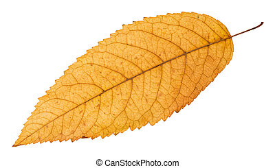 back side of fallen yellow leaf of ash tree isolated on...