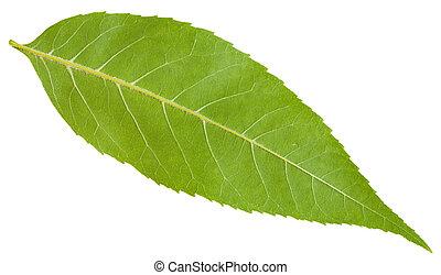 back side of green leaf of Fraxinus excelsior tree (ash,...