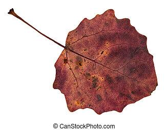 back side of red fallen leaf of aspen tree