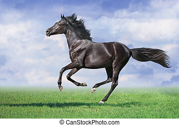 B;ack stallion gallop on spring green meadow