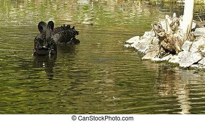 Back swan on lake