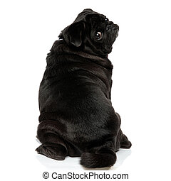 Back view of a clumsy pug looking over its shoulder