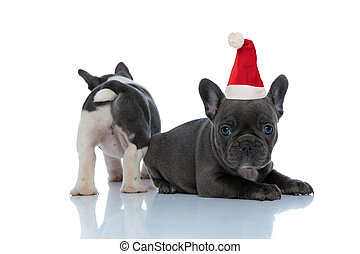 Back view of a French bulldog standing behind his santa claus brother
