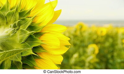 Back view of a fresh sunflower with a bright sunflowers...