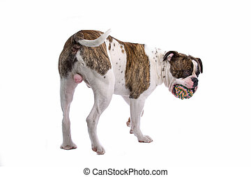 american bulldog - back view of an american bulldog with a ...