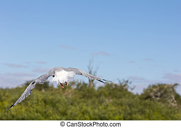Back view of flying seagull taking off