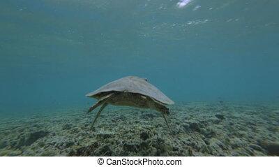 Back View Of Sea Turtle, GBR, Lady Elliot Island