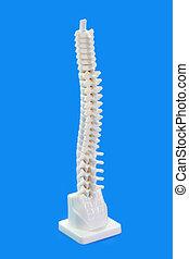 Backbone - Anatomy modell from a human backbone on blue...