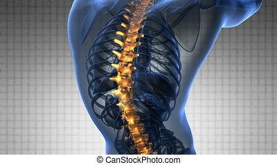 backbone. backache. science anatomy scan of human spine...
